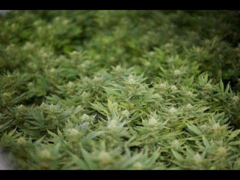 "Huge cannabis farm find is ""big win"" against organised crime"