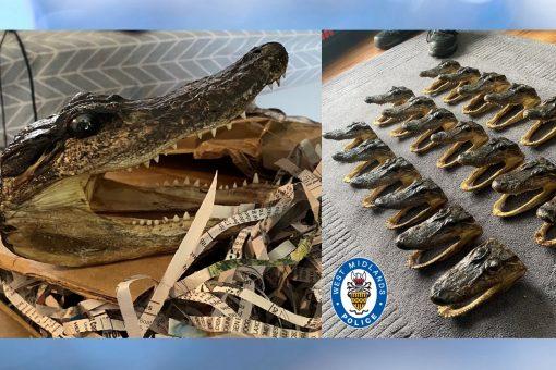 Alligator heads seized in wildlife warrant